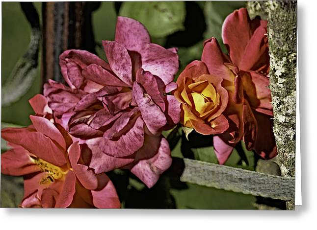 Tacoma Greeting Cards - Roses on Trellis Greeting Card by Paul Shefferly