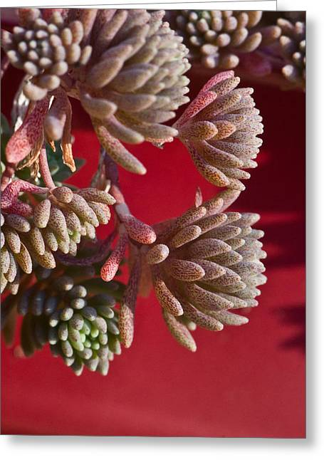 Sour Greeting Cards - Rosy Sedum 5 Greeting Card by Douglas Barnett