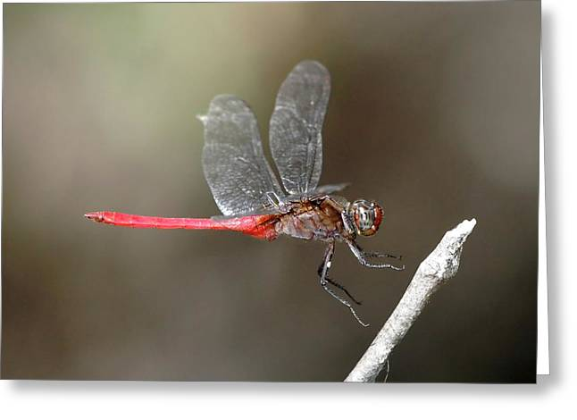 Rosy Skimmer Dragonfly Greeting Card by Gerry Pearce