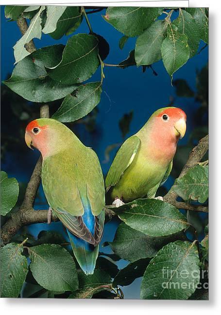 Rosy-faced Lovebird Greeting Cards - Rosyfaced Lovebirds Greeting Card by Hans Reinhard