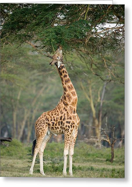 Zoology Greeting Cards - Rothschild Giraffe Giraffa Greeting Card by Panoramic Images