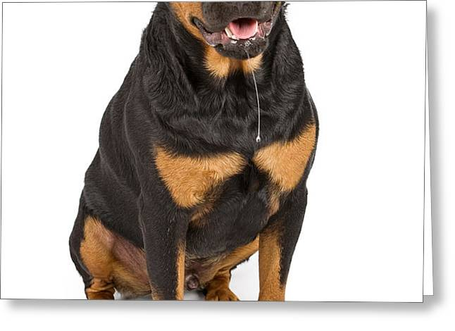 Rottweiler dog with drool Greeting Card by Susan  Schmitz