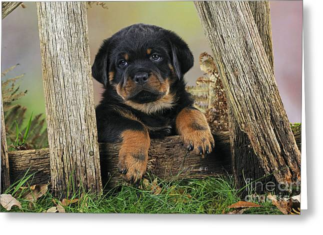 Breeds Greeting Cards - Rottweiler Puppy Dog Greeting Card by John Daniels