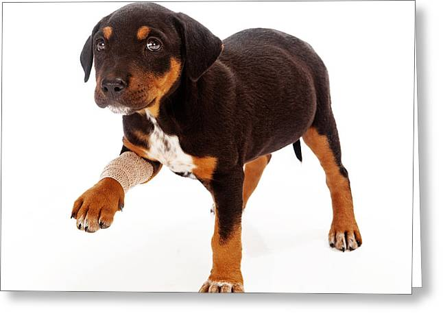 Injured Greeting Cards - Rottweiler Puppy Injured Paw Greeting Card by Susan  Schmitz