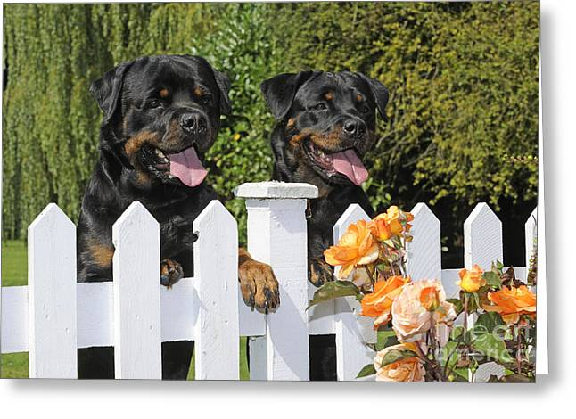 Rottweilers Looking Over Fence Greeting Card by John Daniels