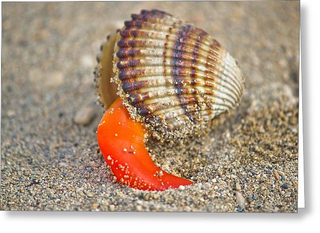 Cerastoderma Greeting Cards - Rough cockle sea shell out of its armor Greeting Card by Dalibor Brlek