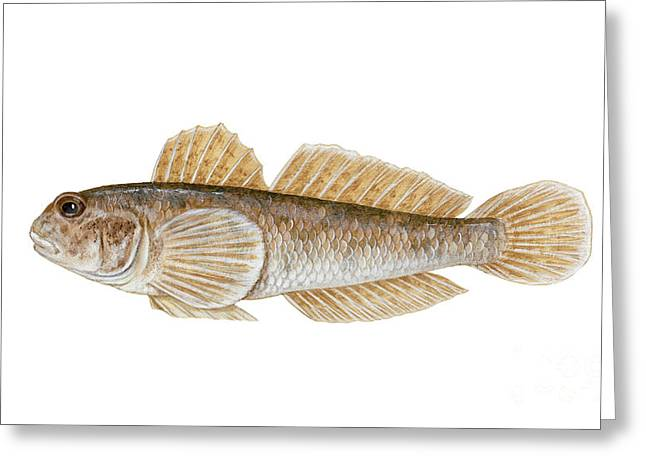 Goby Greeting Cards - Round Goby Neogobius Melanostomus Greeting Card by Carlyn Iverson
