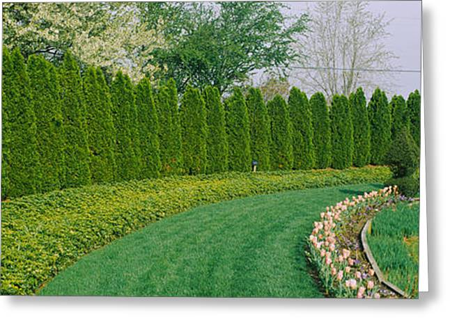 Treelined Greeting Cards - Row Of Arbor Vitae Trees In A Garden Greeting Card by Panoramic Images