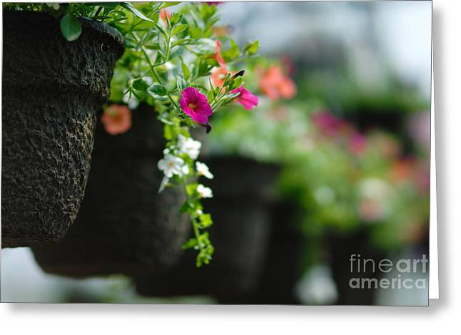 Floral Arrangement Greeting Cards - Row of Hanging Baskets Shallow DOF Greeting Card by Amy Cicconi