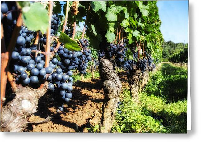 Grape Vines Greeting Cards - Row of Vines Greeting Card by Nomad Art And  Design