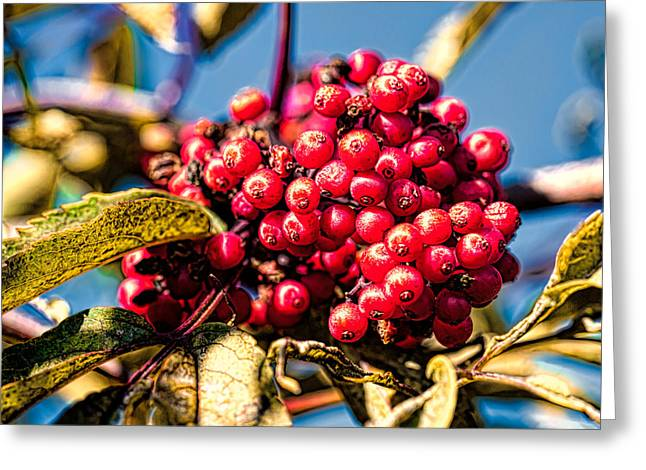 Fruit Tree Art Greeting Cards - Rowan berries Greeting Card by Leif Sohlman