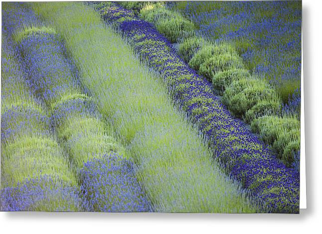 In Full Bloom Greeting Cards - Rows Of Different Lavender Plants In A Greeting Card by Debra Brash