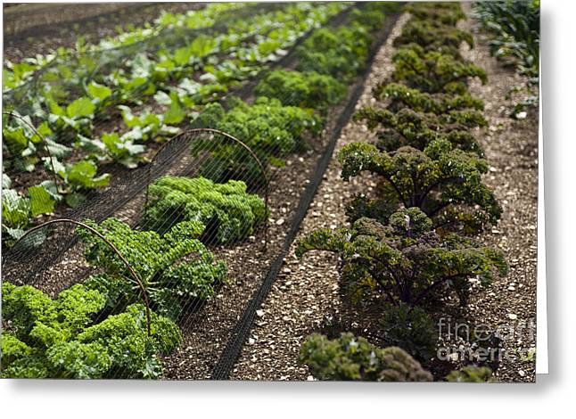 Netting Greeting Cards - Rows of Kale Greeting Card by Anne Gilbert