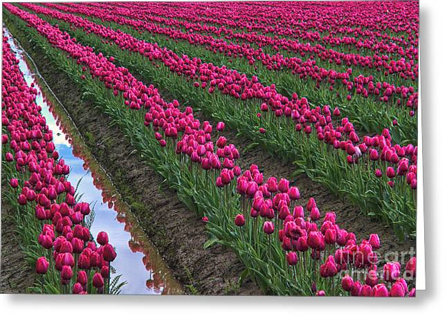 Tulip Fields Greeting Cards - Rows of Kung Fu Tulips Greeting Card by Mark Kiver