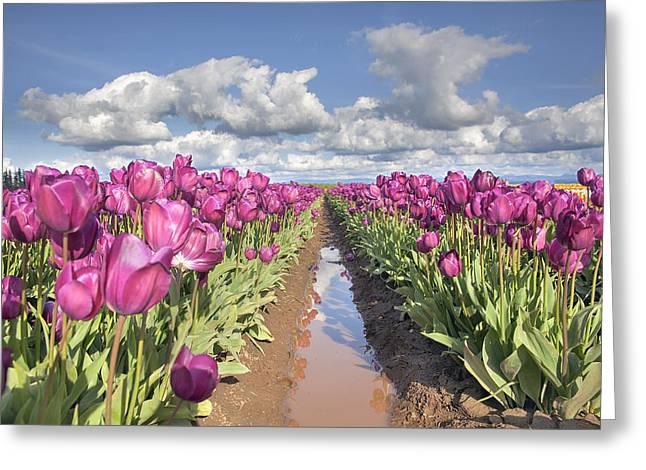 Mud Season Greeting Cards - Rows of Purple Tulip Flowers Greeting Card by JPLDesigns