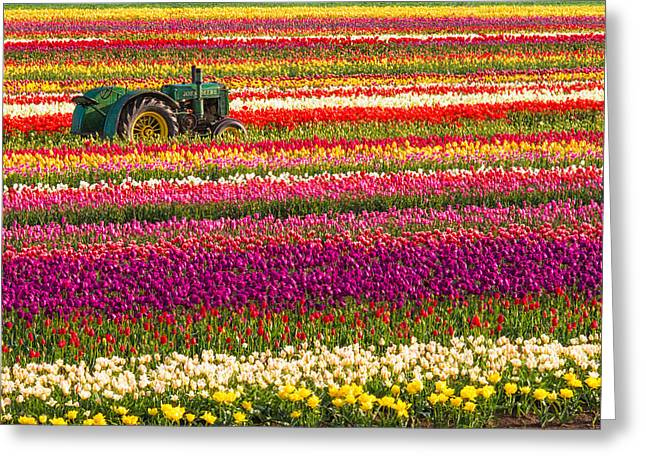Rows Of Tulips Greeting Card by Patricia Davidson