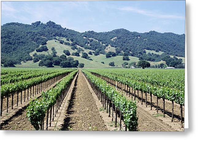 Vineyard Scene Greeting Cards - Rows Of Vine In A Vineyard, Hopland Greeting Card by Panoramic Images