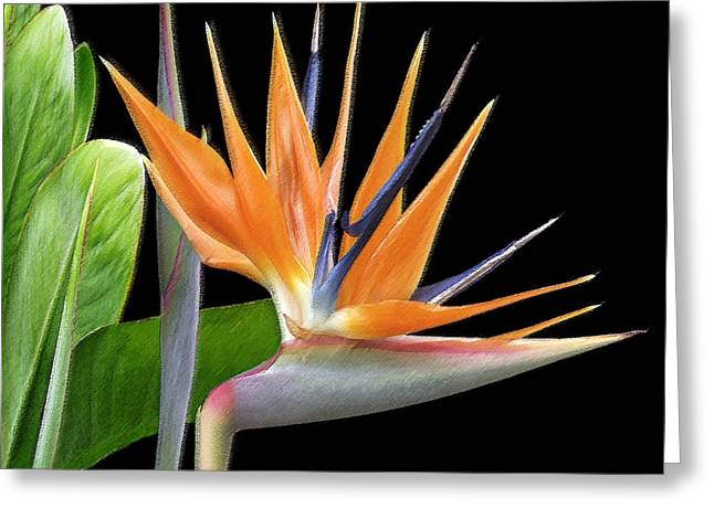 Best Sellers -  - Royal Art Greeting Cards - Royal Beauty I - Bird Of Paradise Greeting Card by Ben and Raisa Gertsberg