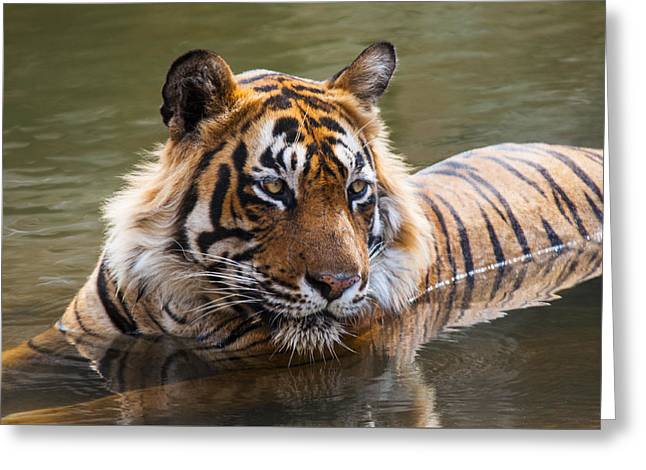 Royal Bengal Tiger Greeting Card by Manjot Singh Sachdeva