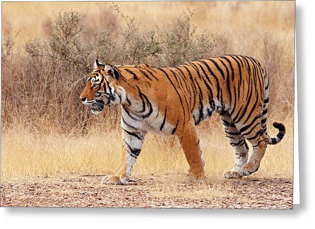 Royal Bengal Tiger Walking Around Dry Greeting Card by Jagdeep Rajput