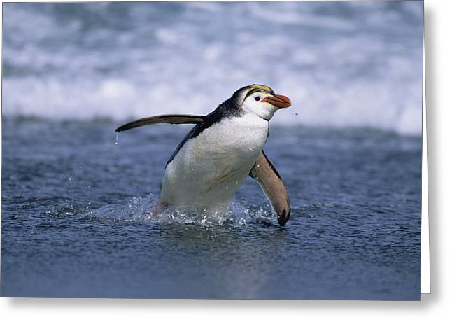 Macquarie Greeting Cards - Royal Penguin Coming Ashore Macquarie Greeting Card by Konrad Wothe