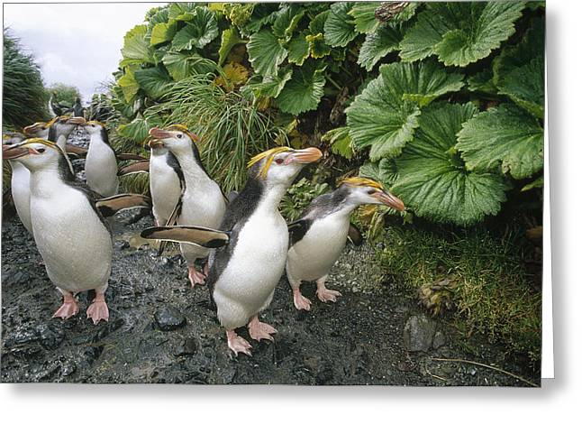 Macquarie Greeting Cards - Royal Penguin Group Walking To Colony Greeting Card by Tui De Roy