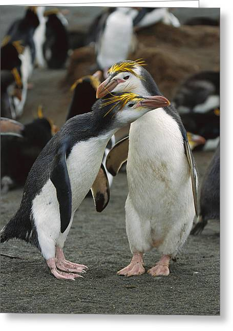 Macquarie Greeting Cards - Royal Penguin Pair Macquarie Isl Greeting Card by Konrad Wothe