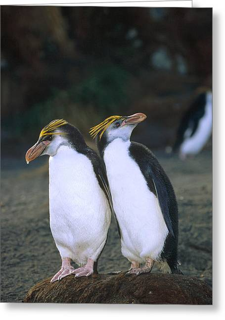 Macquarie Greeting Cards - Royal Penguin Pair On Nest Macquarie Isl Greeting Card by Konrad Wothe