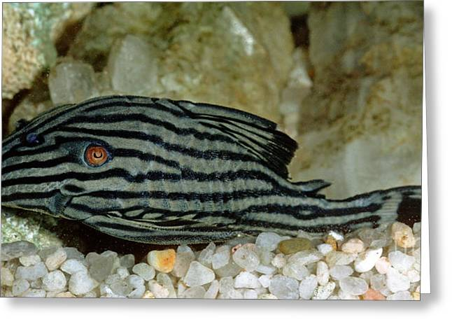 Aquarium Fish Greeting Cards - Royal Pleco Greeting Card by Millard H. Sharp