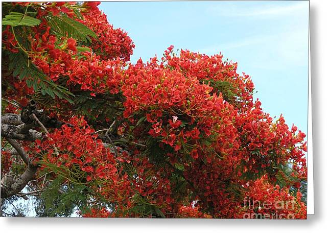 Royal Poinciana Branch Greeting Card by Mary Deal