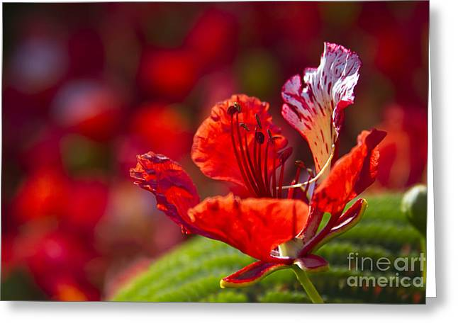 Royal Poinciana - Flamboyant - Delonix Regia Greeting Card by Sharon Mau