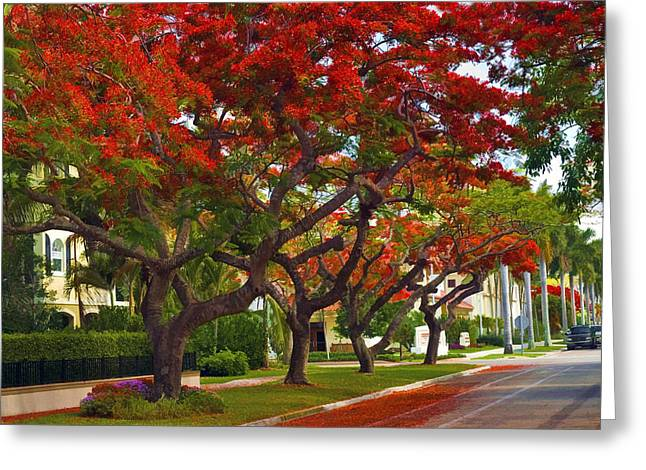 Royal Poinciana Trees In Blooming In South Florida Greeting Card by Ginger Wakem
