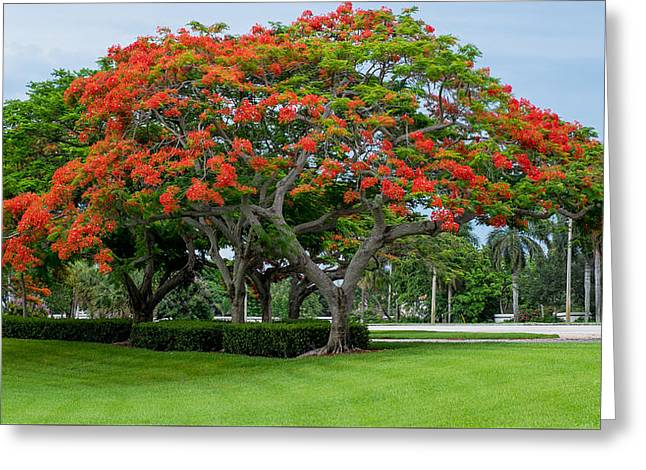 Beach Photograph Pyrography Greeting Cards - Royal Poinciana  Greeting Card by Louis Ferreira