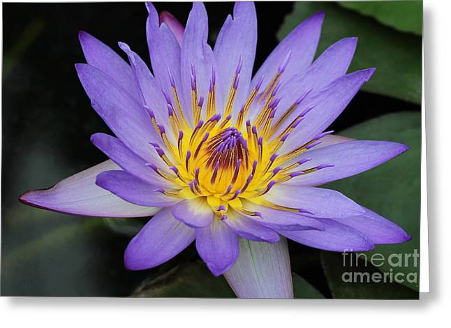 Aquatic Greeting Cards - Royal Purple Water Lily #4 Greeting Card by Judy Whitton
