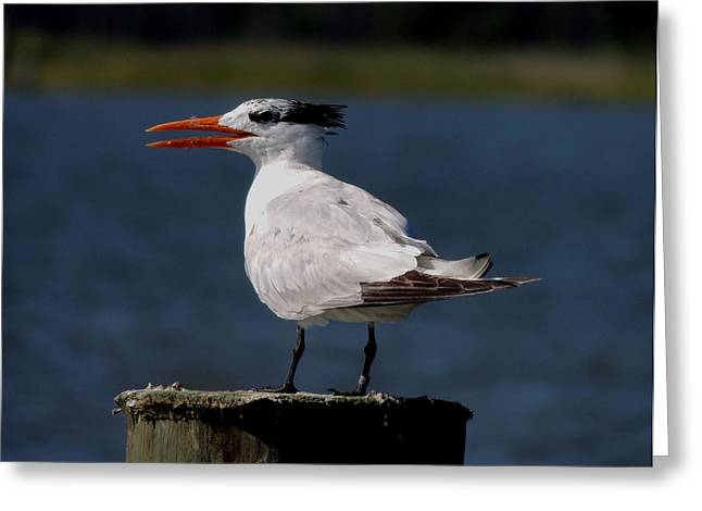Tern Greeting Cards - Royal Tern 3 Greeting Card by Stephanie Kendall