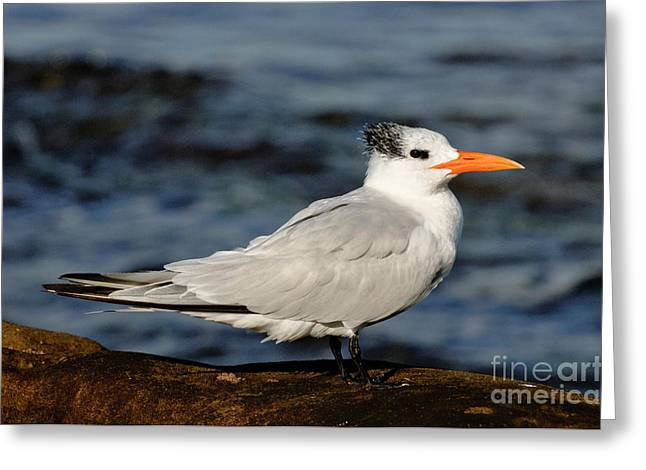 Tern Greeting Cards - Royal Tern Greeting Card by Anthony Mercieca