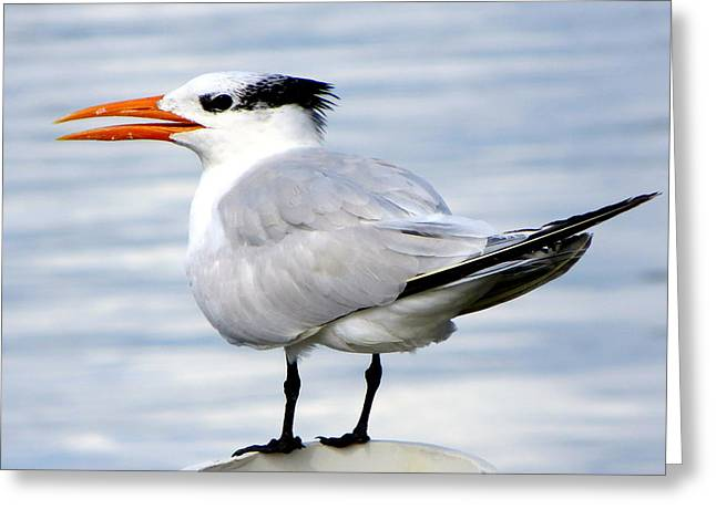Cedar Key Greeting Cards - Royal Tern at Cedar Key Greeting Card by Dorothy Menera