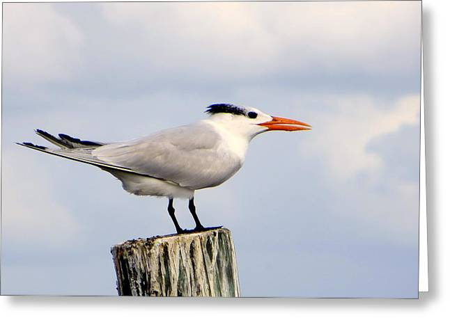 Royal Tern Greeting Card by Dorothy Menera