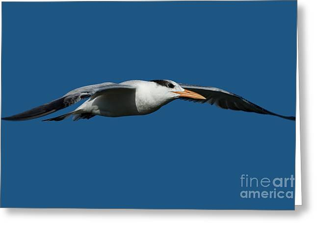 Royal Art Greeting Cards - Royal Tern flying over Sanibel Island Greeting Card by Meg Rousher