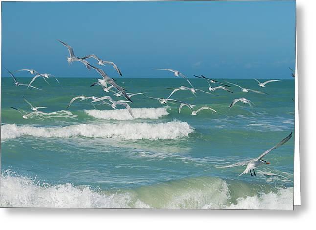 Royal Tern Frenzy Greeting Card by Kim Hojnacki