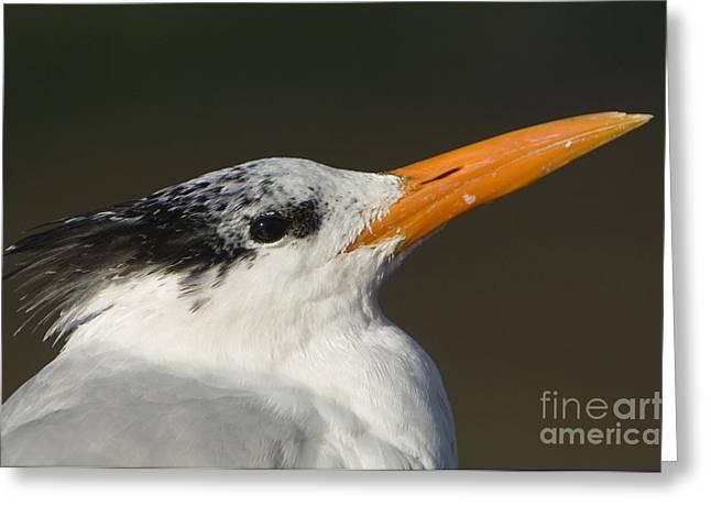 Tern Greeting Cards - Royal Tern Greeting Card by John Shaw