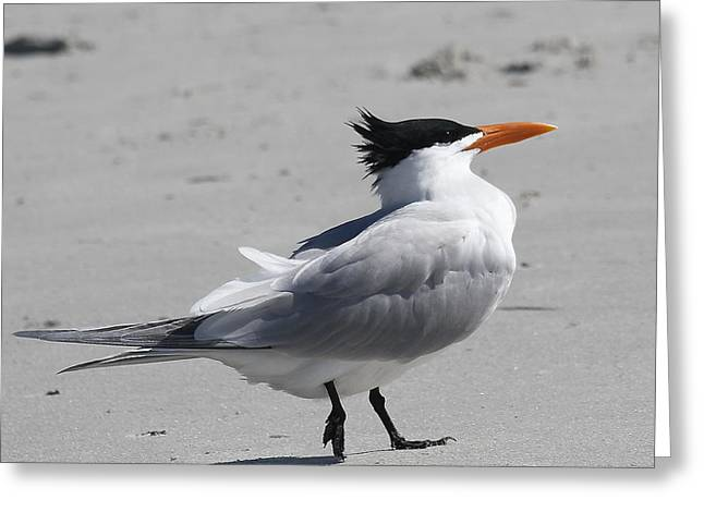 Tern Greeting Cards - Royal Tern Mohawk 3 Greeting Card by Cathy Lindsey