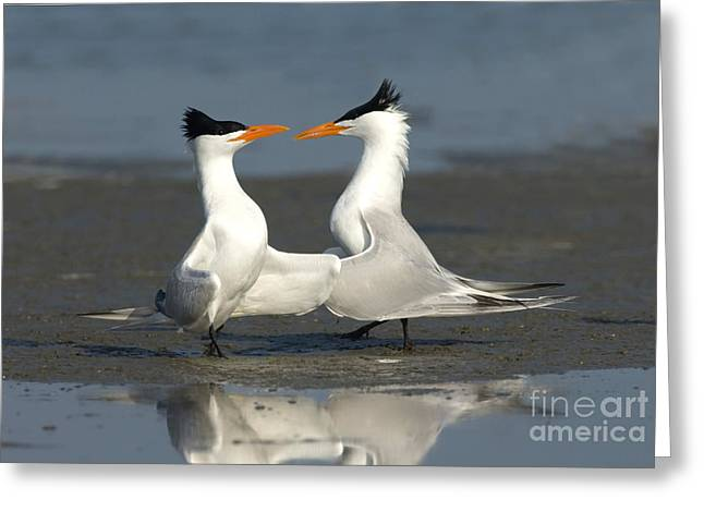 Royal Tern Pair Doing Royal Dance Greeting Card by Anthony Mercieca