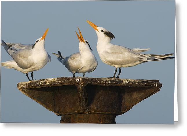 Hispaniola Greeting Cards - Royal Tern Trio Displaying Dominican Greeting Card by Kevin Schafer