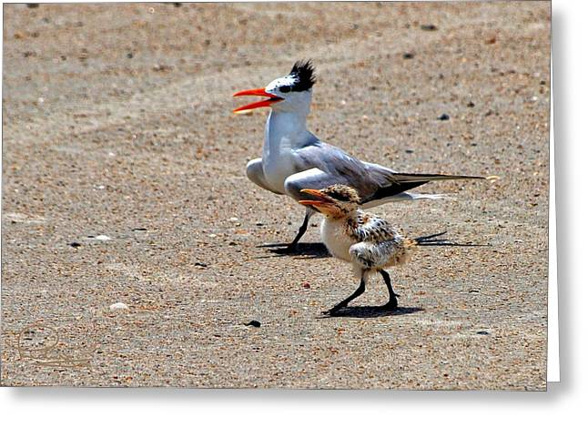 Tern Greeting Cards - Royal Tern with Chick Greeting Card by Ludwig Keck