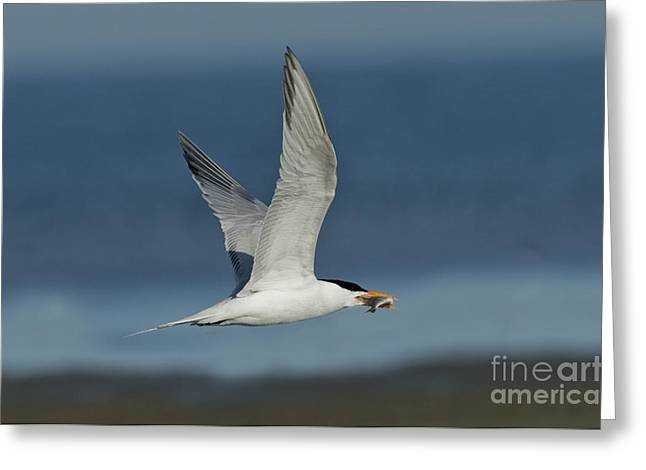 Royal Tern With Fish Greeting Card by Anthony Mercieca