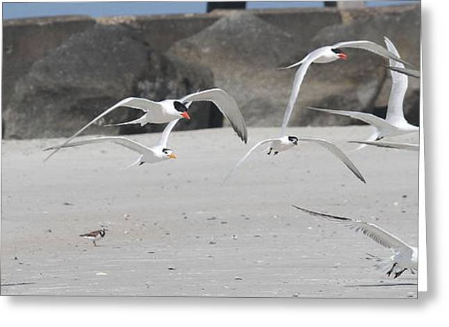 Tern Greeting Cards - Royal Terns 3 Greeting Card by Cathy Lindsey