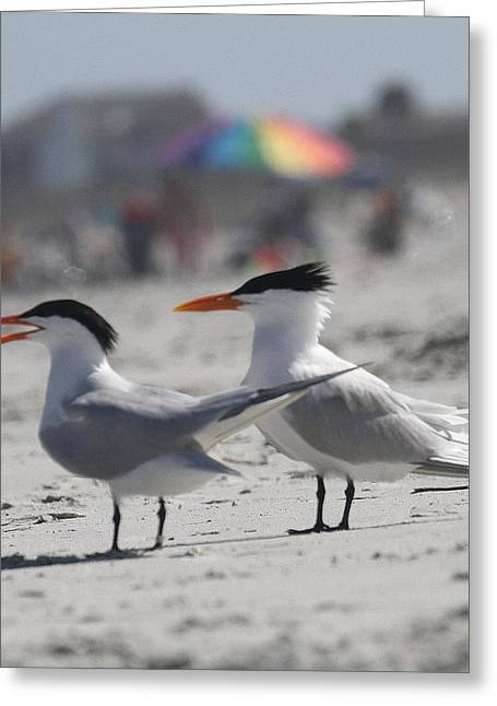 Tern Greeting Cards - Royal Terns 9 Greeting Card by Cathy Lindsey