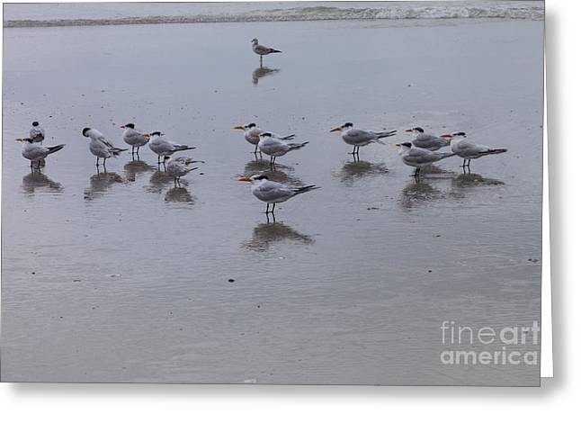 Tern Greeting Cards - Royal Terns and Seagull Greeting Card by Diane Macdonald