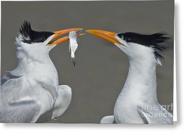 Negotiating Greeting Cards - Royal Terns Greeting Card by Anthony Mercieca